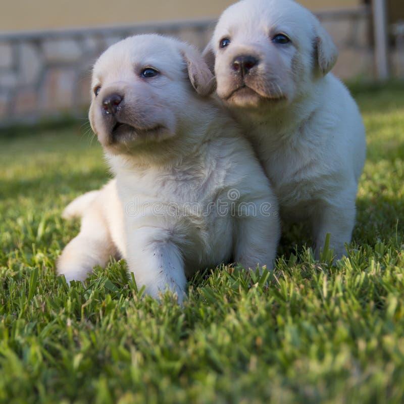Dwa labradora szczeniaka w ogródzie obraz stock