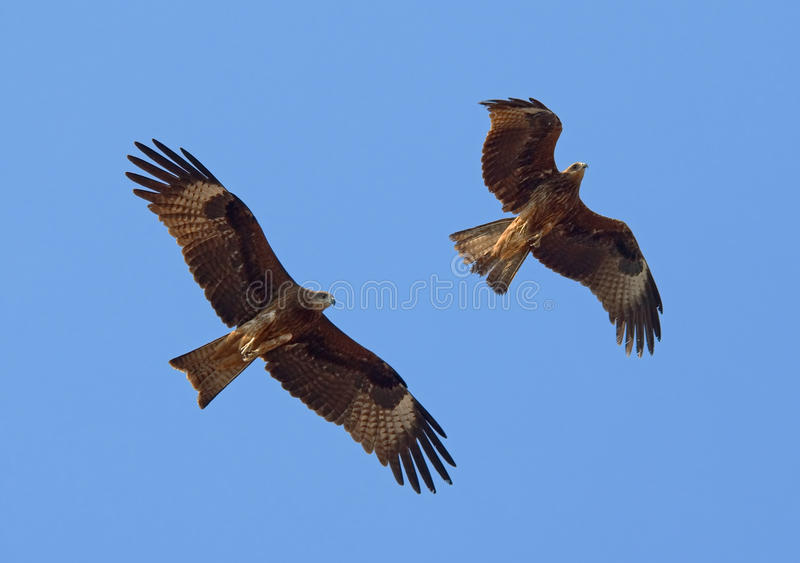 Dwa latającej Czarnej kani zdjęcie royalty free