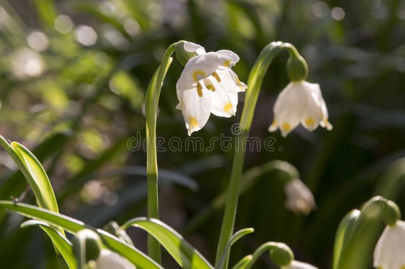 Dwa Leucojum vernum kwiatu, wcześni wiosna płatki śniegu na łące zdjęcia stock