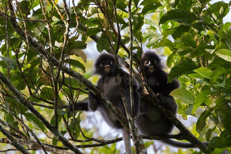 Dwa liścia Ciemniusieńka małpa, spectacled langur, spectacled liść małpa zdjęcia stock