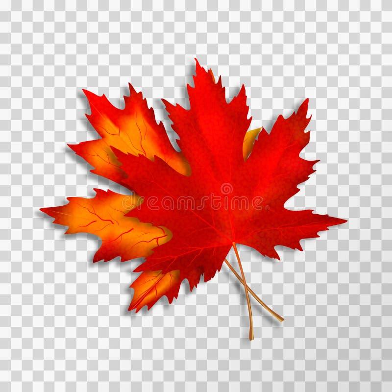 Dwa liścia klonowego odizolowywającego na przejrzystym tle Jaskrawej czerwonej jesieni realistyczni liście 10 eps ilustracyjny os royalty ilustracja
