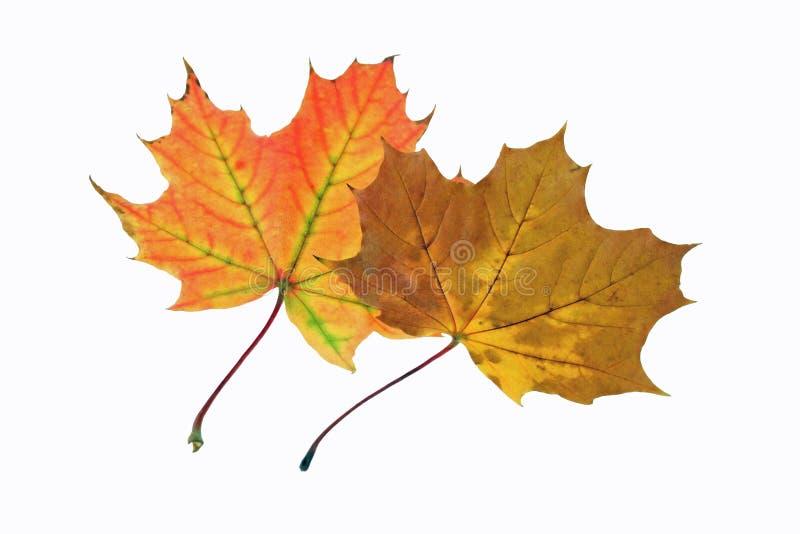 dwa liście jesienią zdjęcie stock