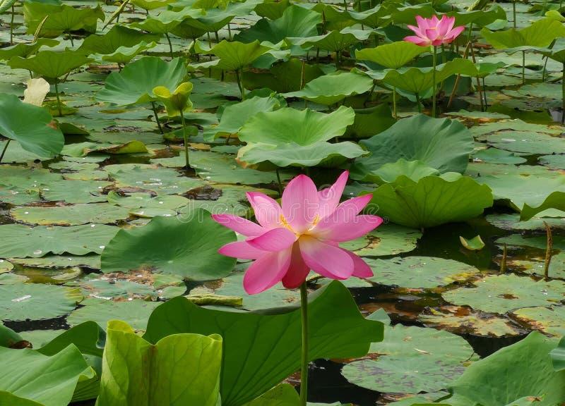 Dwa lotosowego kwiatu wybierają na nawadniają powierzchnię zdjęcie stock