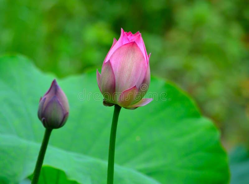 Dwa lotosowego pączka obraz stock