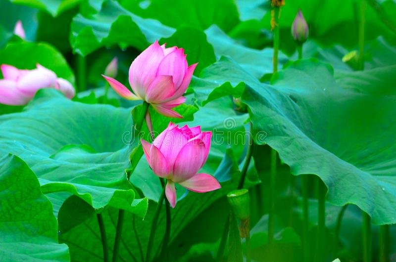 Dwa lotosowego partnera fotografia stock