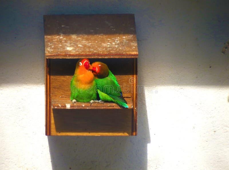 Dwa lovebirds cieszy się each - inny firma w birdhouse obraz stock