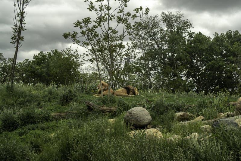 Dwa lwów Afrykański Panthera Leo zdjęcia royalty free