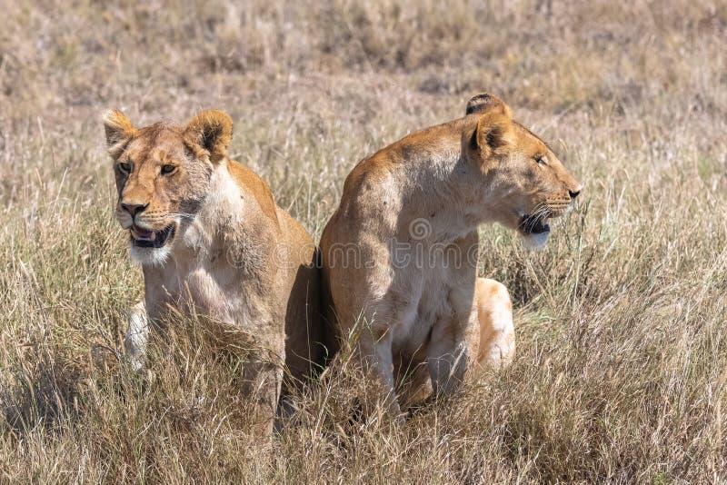 Dwa lwa w sawannie obraz stock
