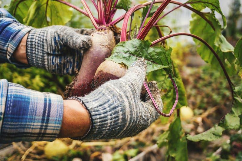 Dwa męskiej ręki trzyma drzejącą od ogrodowych buraków Pojęcie miastowy ogród, organicznie warzywa z bliska zdjęcia stock