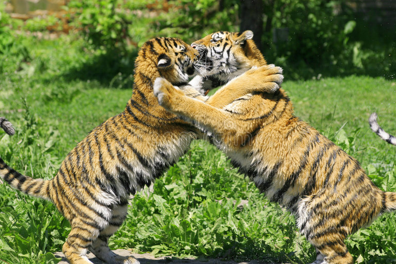 dwa młode tygrysy obraz royalty free