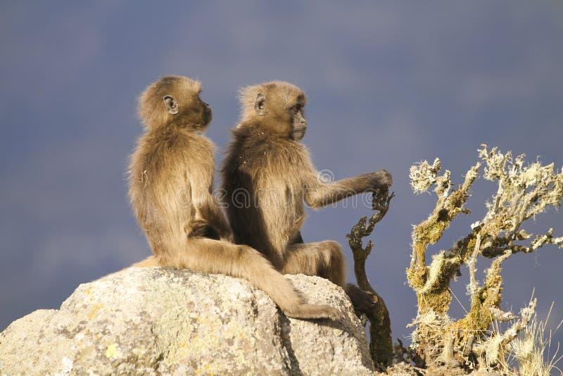 Dwa młodego Gelada pawianu siedzi na skale obraz stock