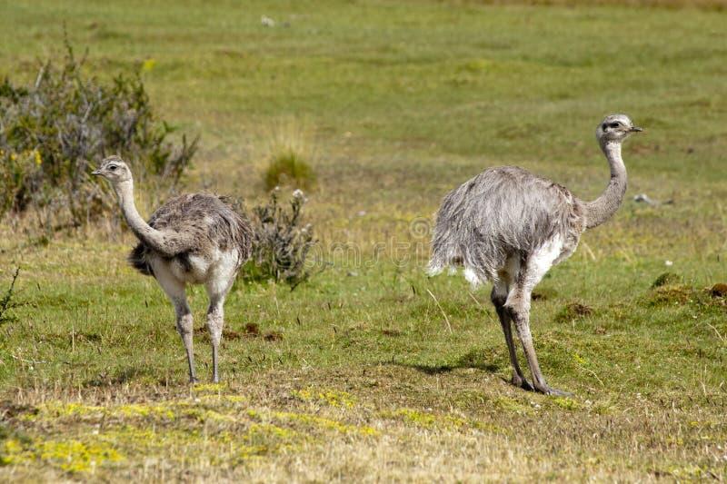 Dwa młodego ostrichs (struthio camelus) zdjęcia stock