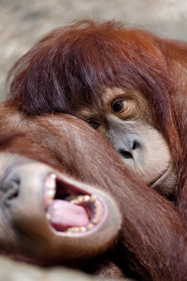 Dwa młody śpiący orangutan fotografia stock