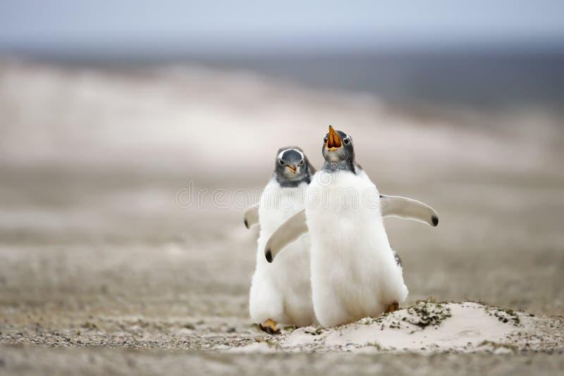 Dwa m?odego gentoo pingwinu goni each inny fotografia royalty free
