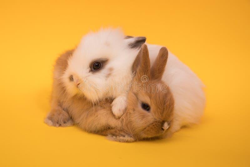 dwa małe króliczki zdjęcia stock
