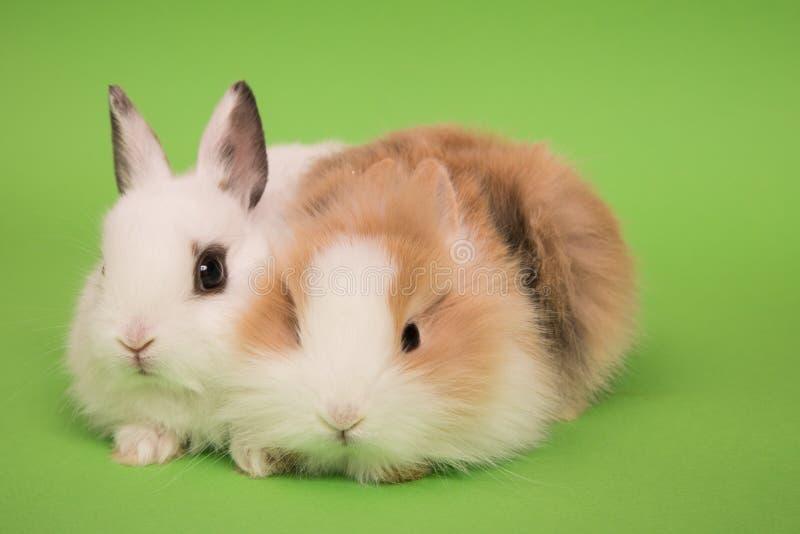 dwa małe króliczki obraz royalty free