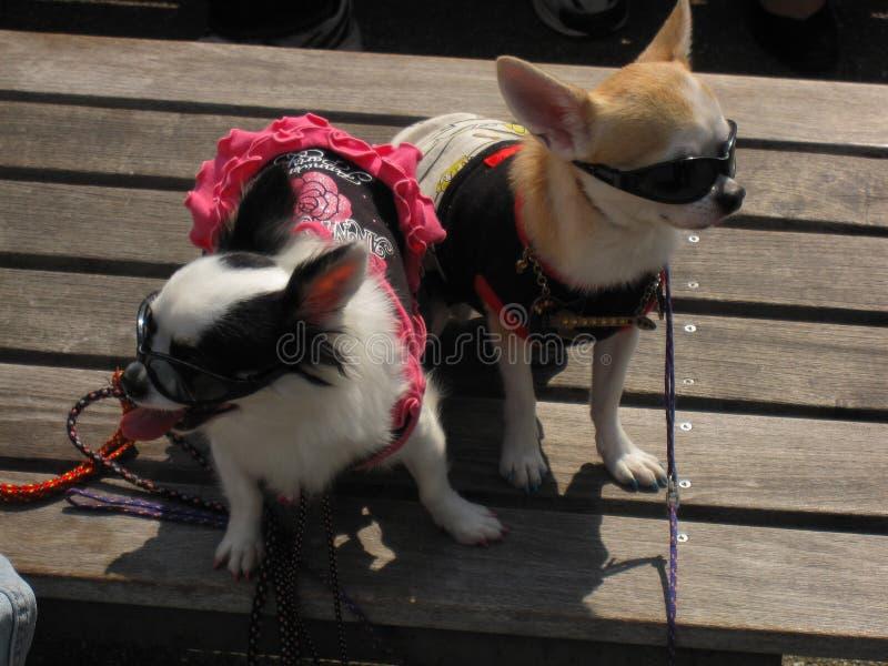 Dwa małego chihuahua psa ubierającego z okularami przeciwsłonecznymi zdjęcie royalty free
