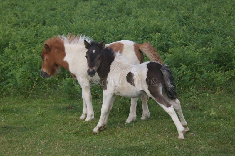 Dwa małego Dartmoor źrebięcia obrazy stock