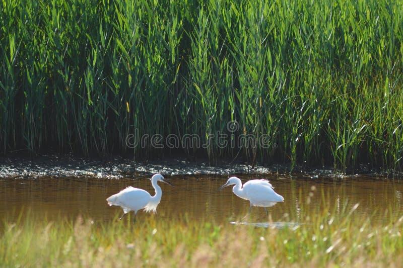 Dwa Małego Egrets obrazy royalty free