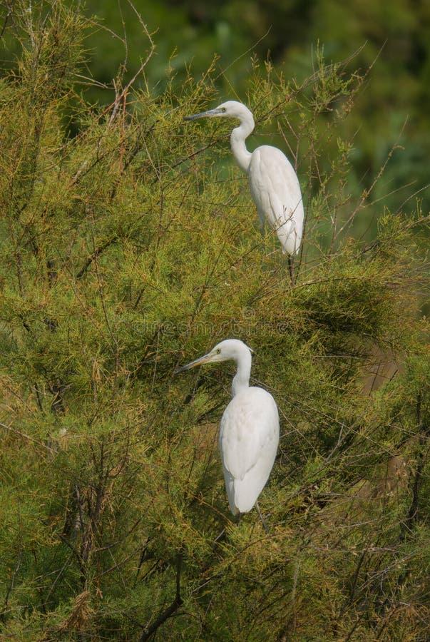 Dwa Małego Egrets umieszcza na drzewie obraz royalty free