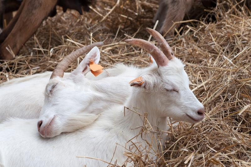 Dwa małej białej kózki kłama na sianie, cuddling do one na gospodarstwie rolnym, rodzina iść najpierw zdjęcia royalty free