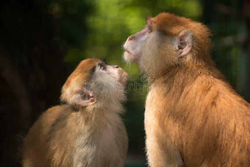 Dwa małpy powiązania obraz royalty free