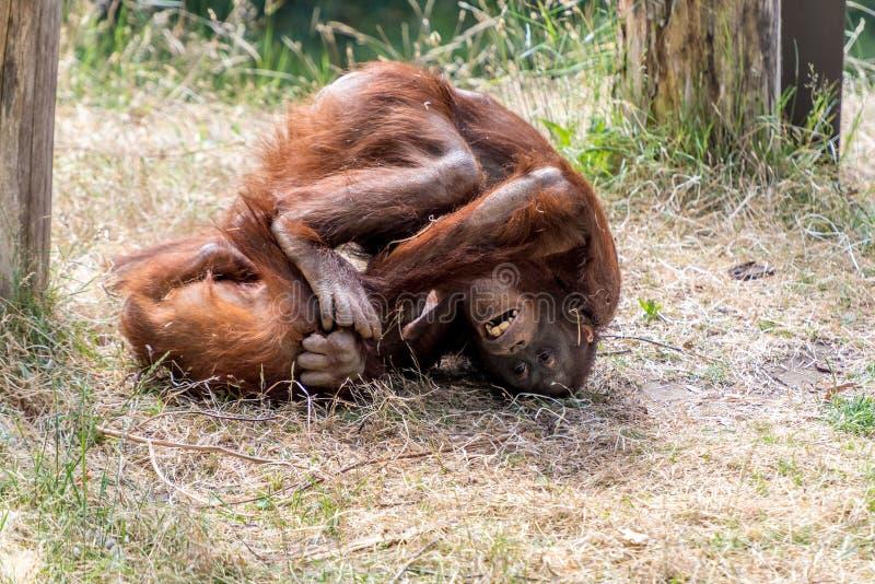 Dwa małpy robią sportów dżudo fotografia stock