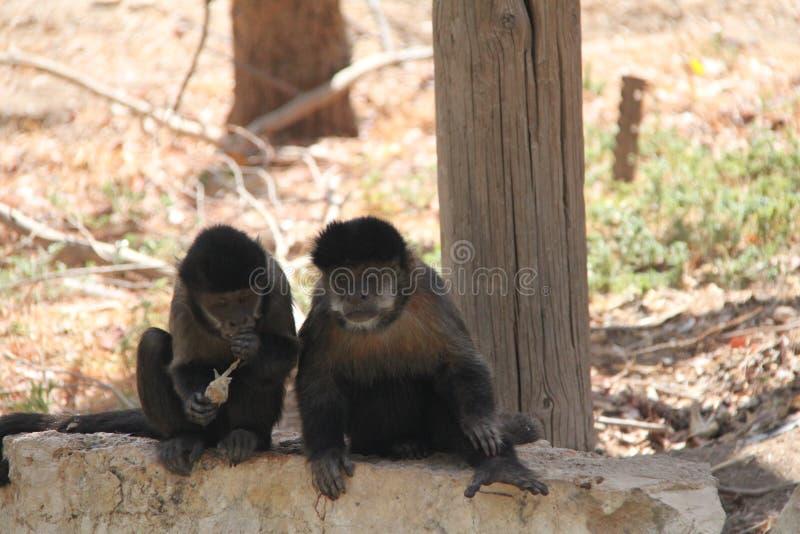 Dwa małpy siedzi na skale zdjęcia royalty free