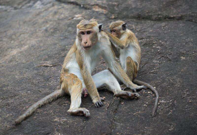 Dwa małpy siedzi na skale Sri Lanka zdjęcie stock