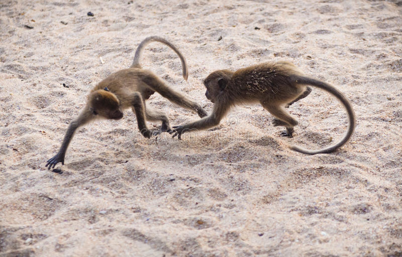 Dwa małpy walczy w piasku zdjęcia stock