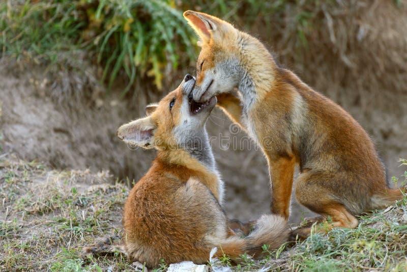 Dwa Mały Czerwony Fox bawić się blisko ich nor obrazy royalty free