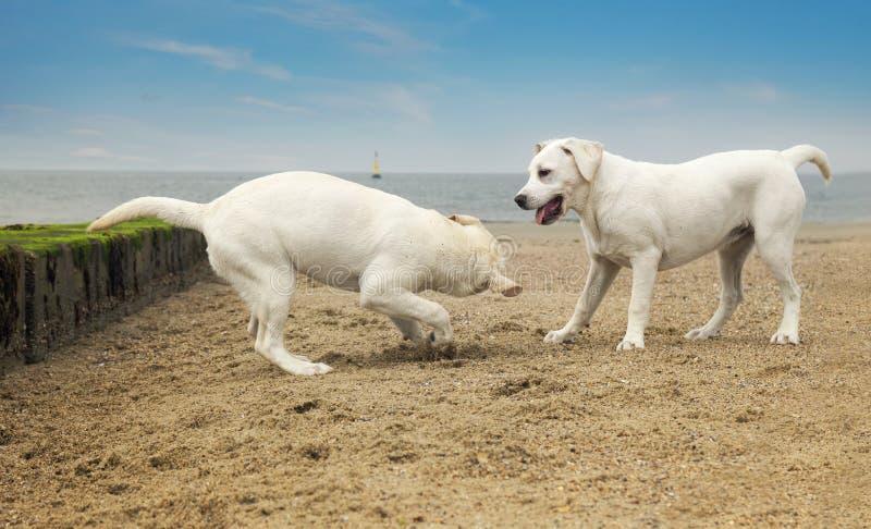 Dwa małych psów śliczna sztuka przy plażą zdjęcie stock