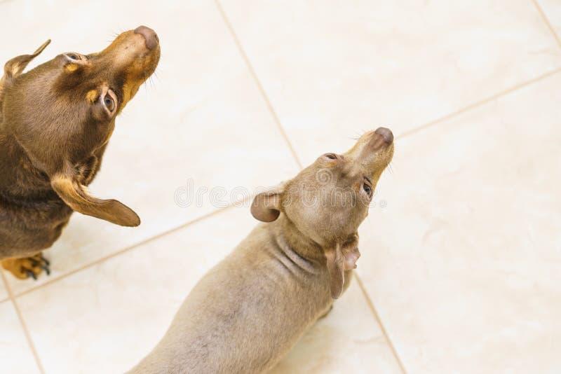 Dwa ma?ych ps?w widok od wierzcho?ka obrazy stock