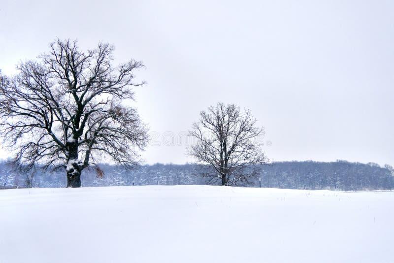 Dwa majestatycznego dębowego drzewa w zimie, las w tle zdjęcie stock