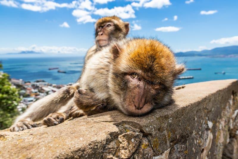 Dwa makak małpy preening w Gibraltar zdjęcia stock