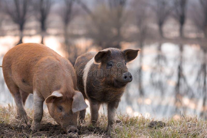 Dwa mangulista świni na polu obrazy royalty free