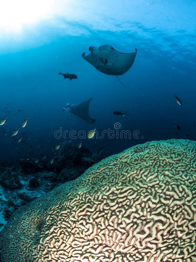 Dwa manta promienia Unosi się nad rafami koralowa obraz royalty free