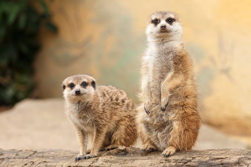 Dwa meerkats na beli z światłem zamazywali tło zdjęcie royalty free