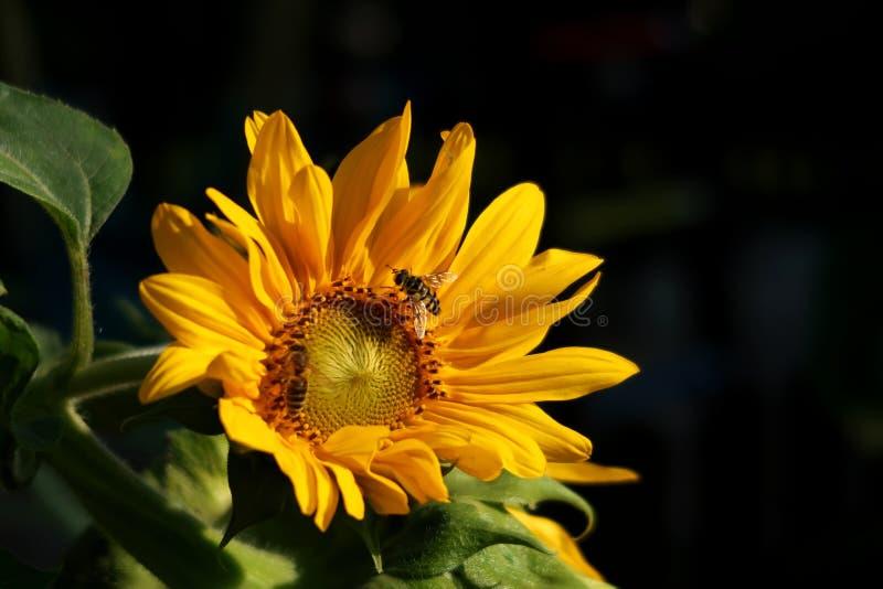 Dwa miodowej pszczoły na słoneczniku zdjęcie royalty free