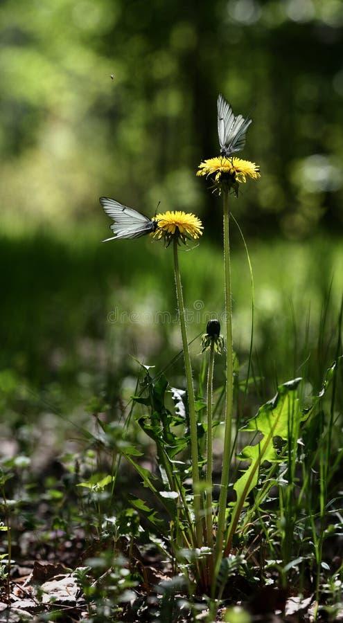 dwa mleczy motyla fotografia royalty free