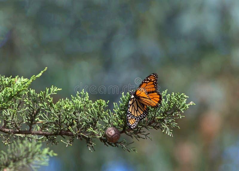 Dwa monarchicznego motyla matuje w drzewie fotografia royalty free