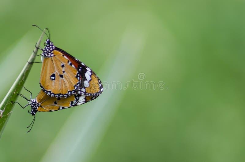 Dwa monarchicznych motyli kojarzyć w parę obraz royalty free