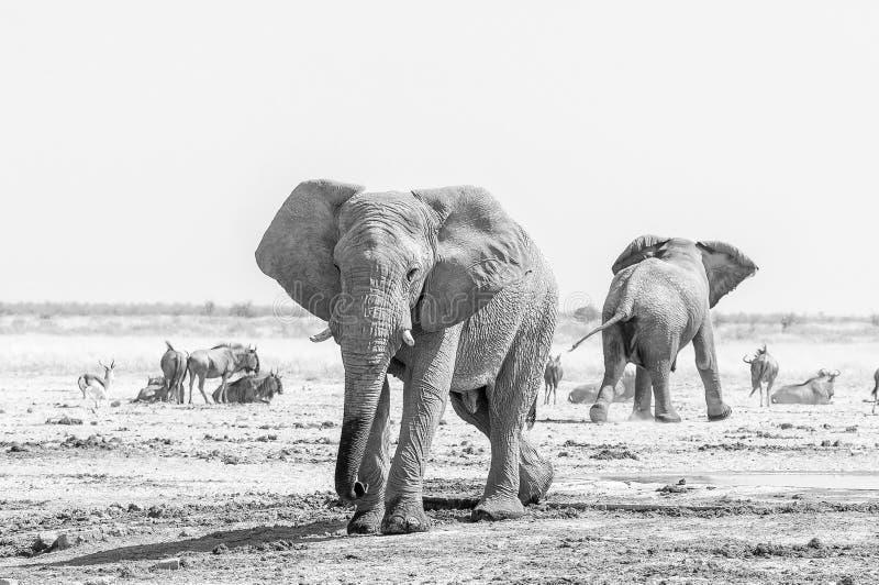 Dwa monochromatycznego Afrykańskiego słonia, błękitnego wildebeest i antylopa, obrazy stock