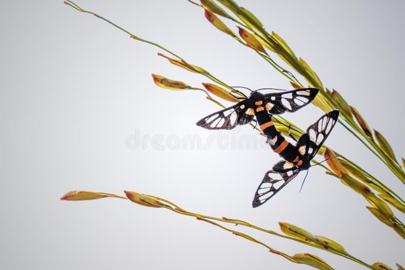 Dwa motyla hodują na odgórnym ucho surowy ryżowy drzewa i nieba tło obraz stock