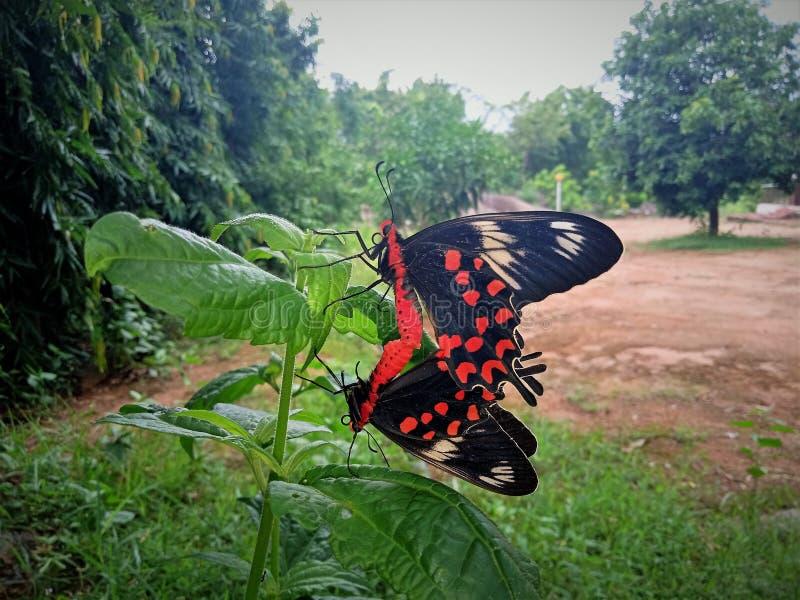 Dwa motyla kojarzyć w parę moment obrazy royalty free