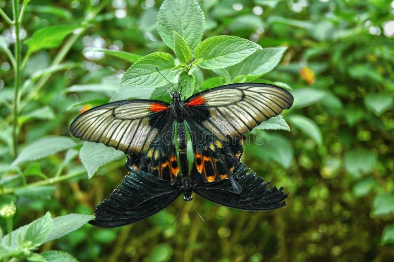 Dwa motyla kojarzyć w parę podczas gdy dołączający liść zdjęcia stock
