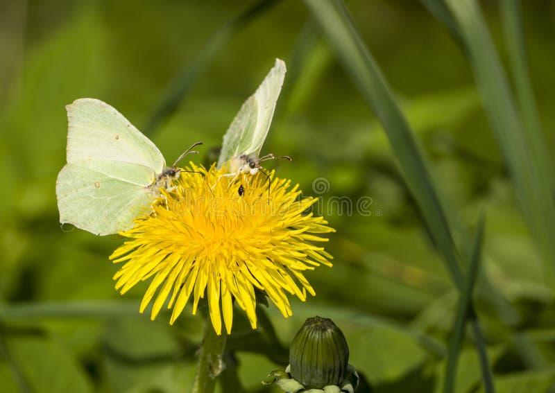 Dwa motyla na dandelion obraz royalty free