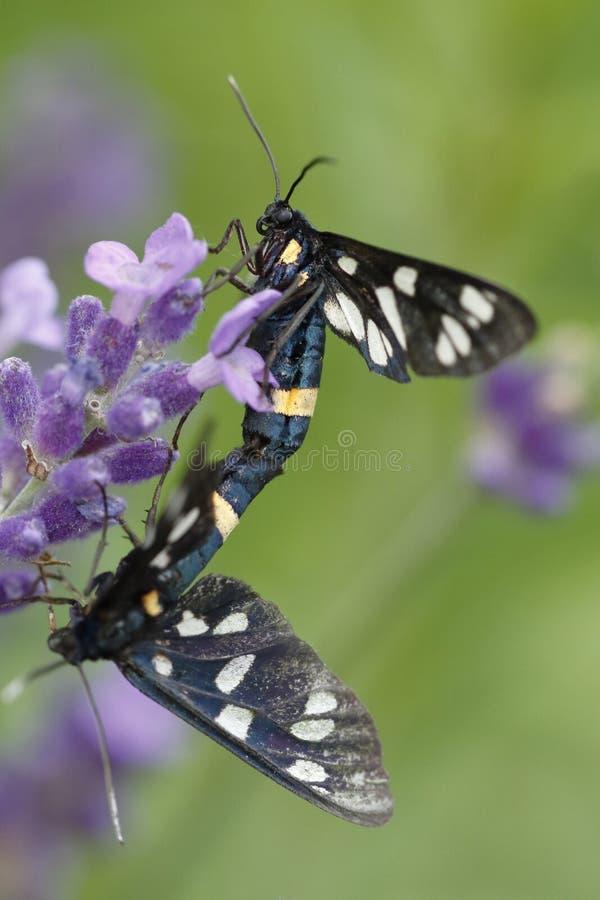 Dwa motyla, Zygaena ephialtes, kopuluje na lawendowych okwitnięciach obraz royalty free