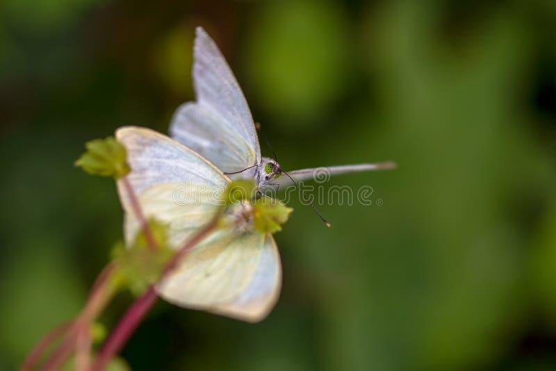 Dwa motyli wielki południowy biały kopulować fotografia royalty free