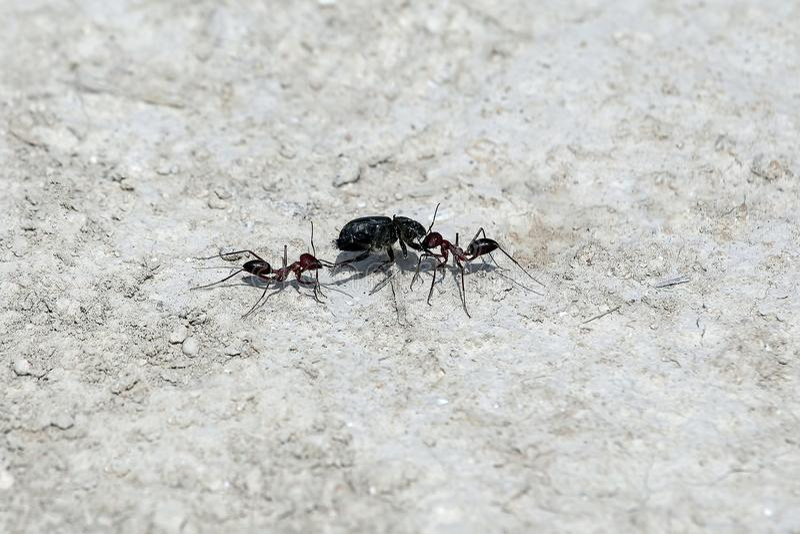 Dwa mrówki wlec w anthill wyciągany insekt zdjęcia royalty free